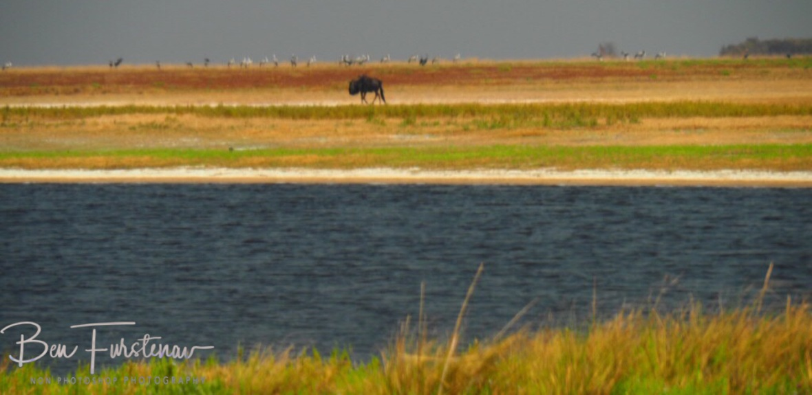The one that missed the migration, Liuwa Plains National Park, Zambia