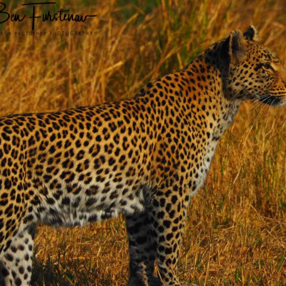 A leopard surprised me whilst having coffee, Kwai Region, Okavango Delta, Botswana