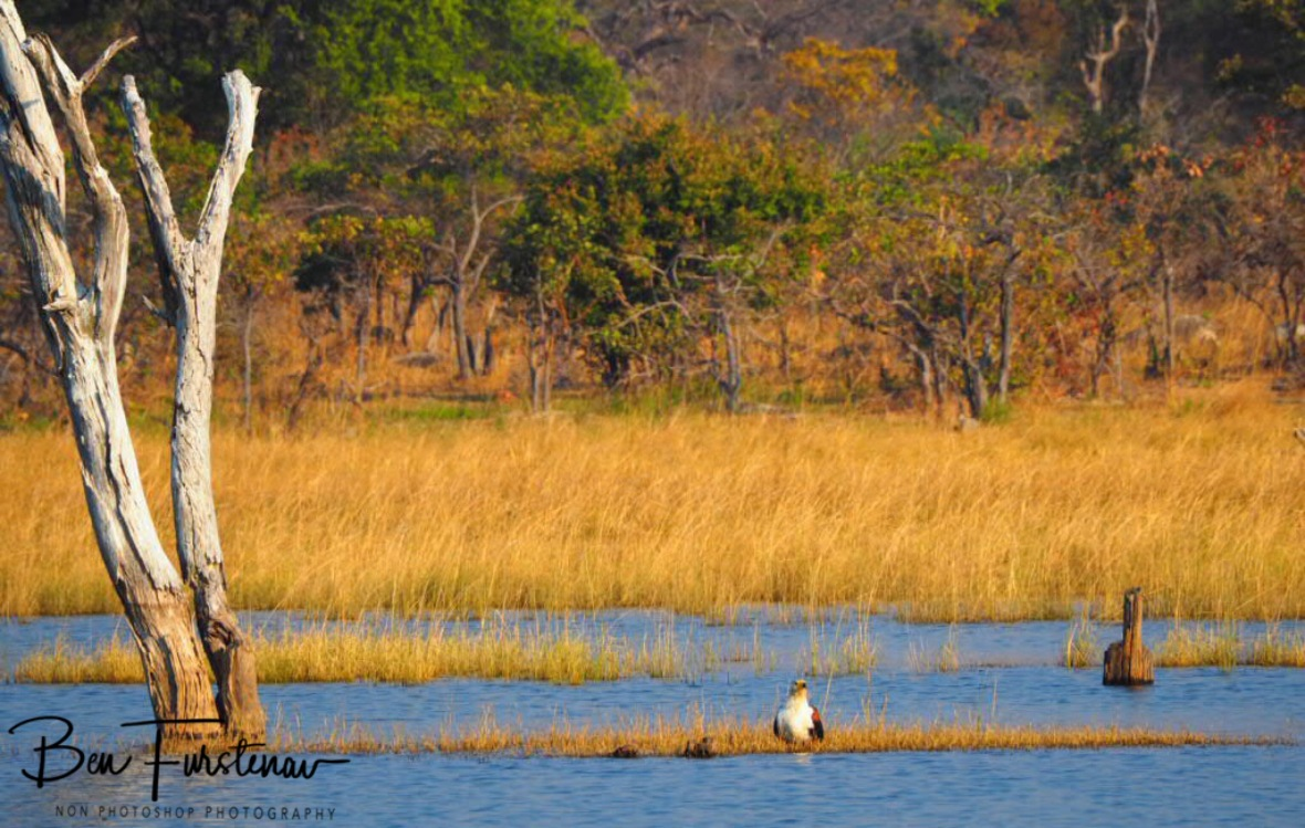 Fish eagle enjoying island lifestyle, Kafue National Park, Zambia