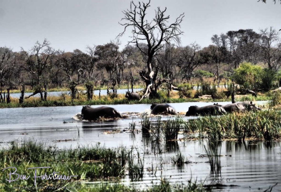 Hippos fun for cover, Kwai Region, Okavango Delta, Botswana