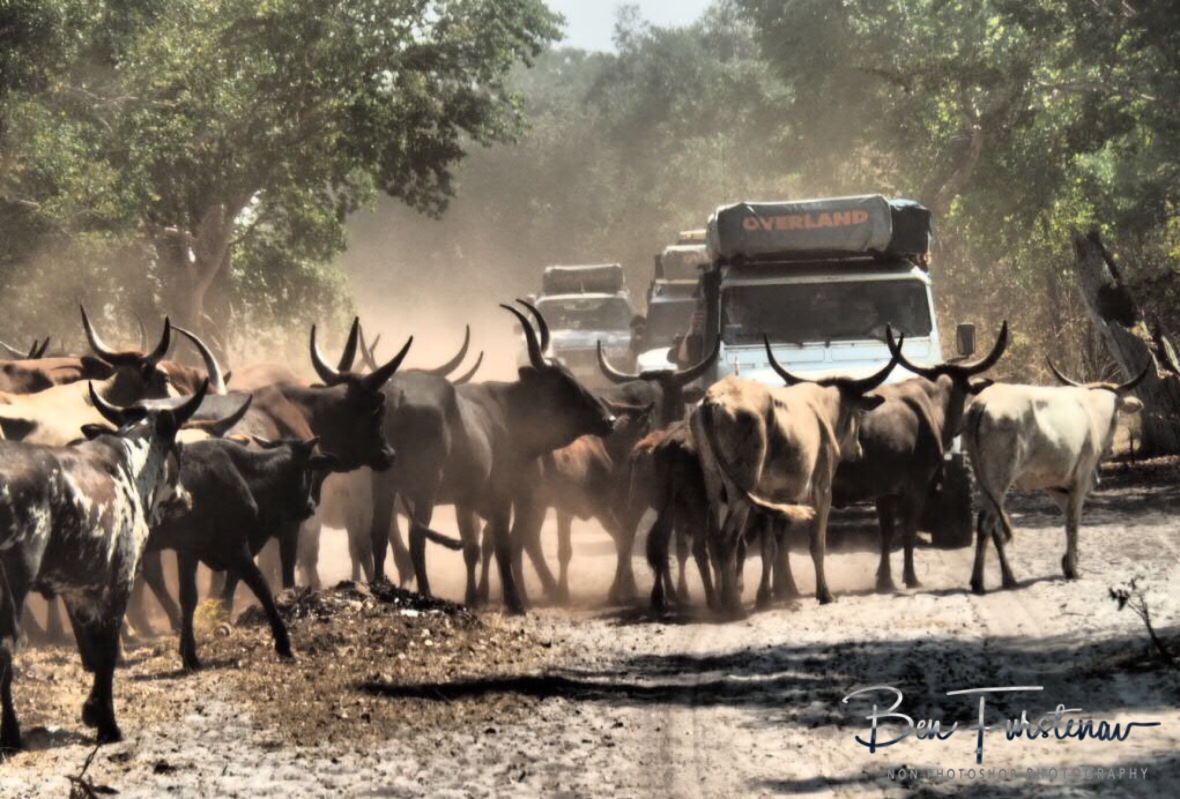 Longhorn roadblock in Liuwa Plains National Park, Zambia
