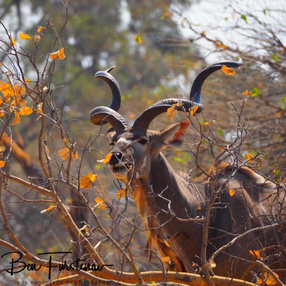 Kudu nipping carefully on bushes, Moremi National Park, Okavango Delta, Botswana