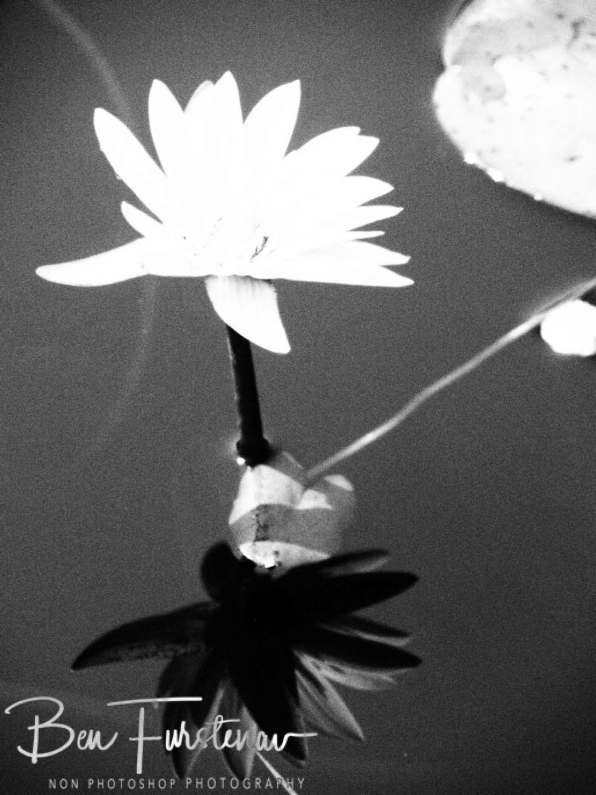 Water Lilly in black and white, Liuwa Plains National Park, Zambia