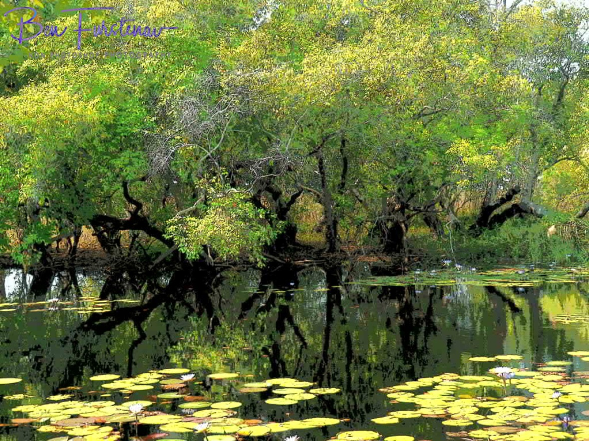 Lagoon filled with water lilies, Liuwa Plains National Park, Zambia