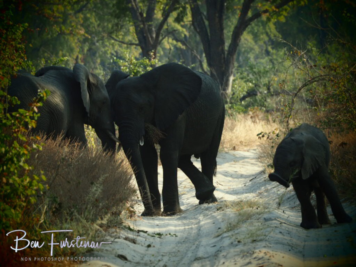 Elephant cuddlxs, Chobe National Park, Okavango Delta, Botswana