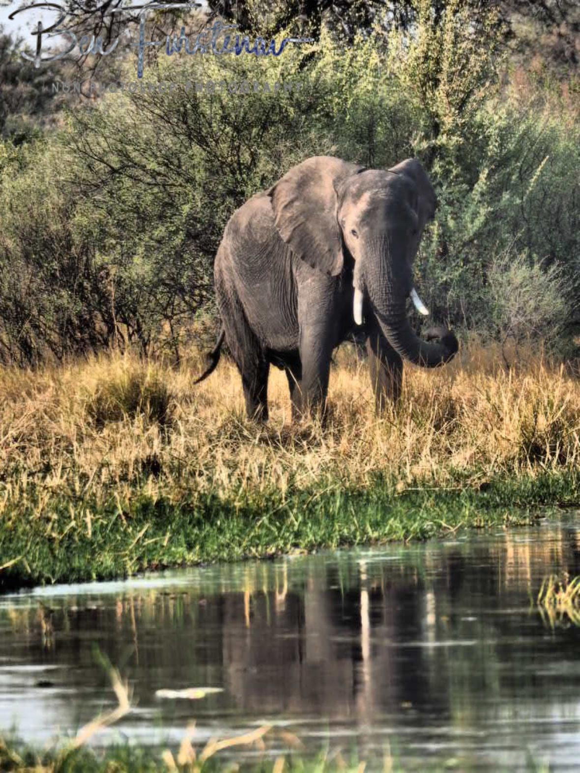 A vary elephant, Moremi National Park, Botswana
