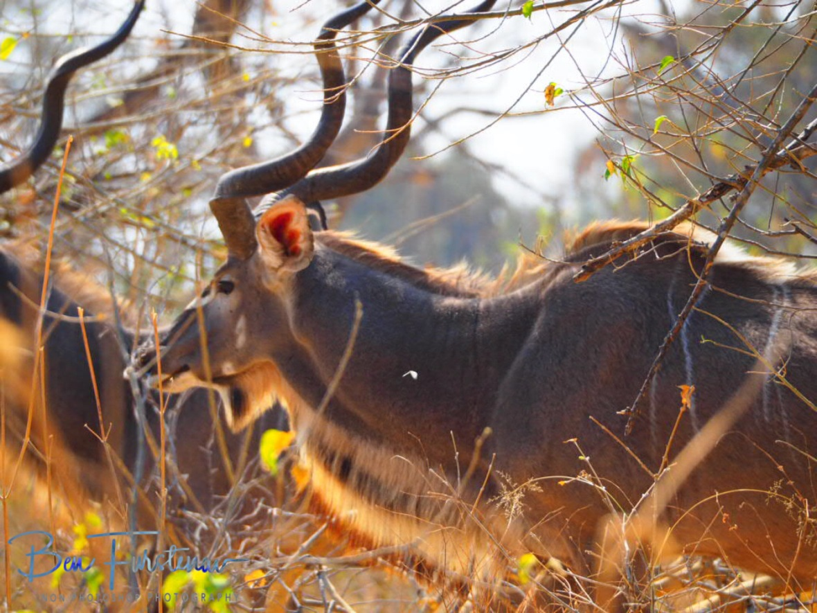 A Male kudu herd, Moremi National Park, Okavango Delta, Botswana