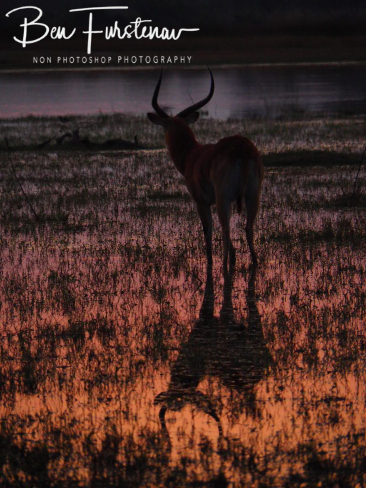 Lechwe Antilope reflections, Moremi National Park, Okavango Delta, Botswana