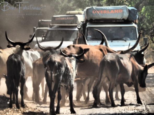 Longhorns roadblock, Liuwa Plains National Park, Zambia