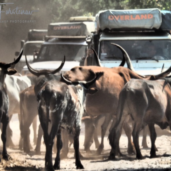 Longhorns roadblock, Liuwa Plains National Park, Zambia