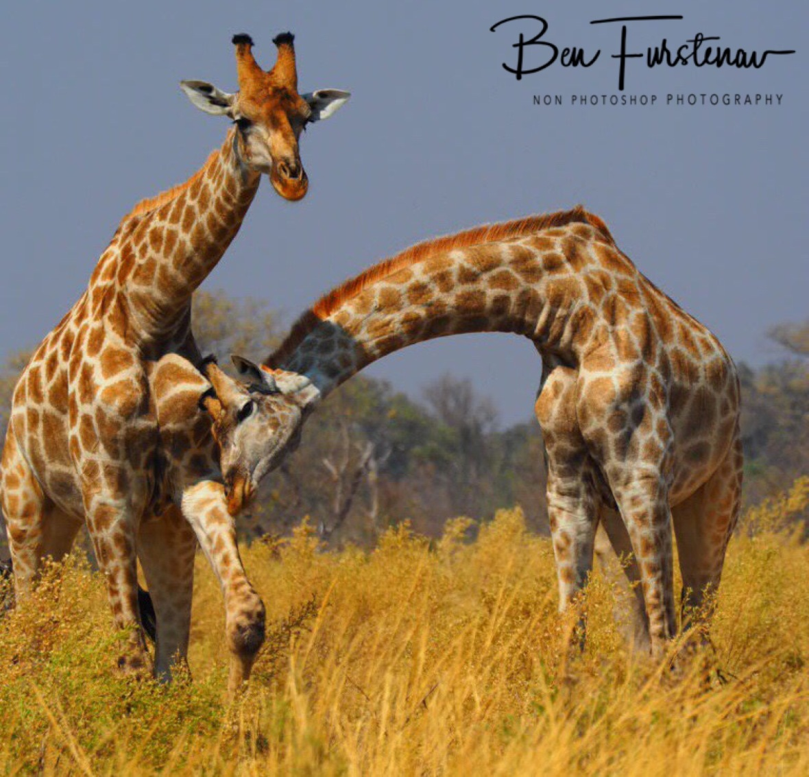 Boys will be boys, Moremi National Park, Botswana