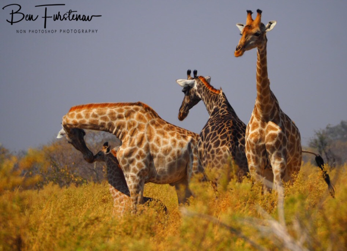 Friendly regrouping, Moremi National Park, Botswana