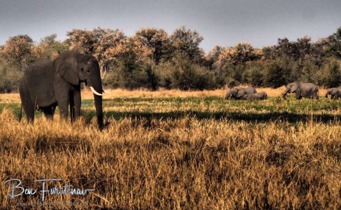 More elephant arrivals, Moremi National Park, Botswana