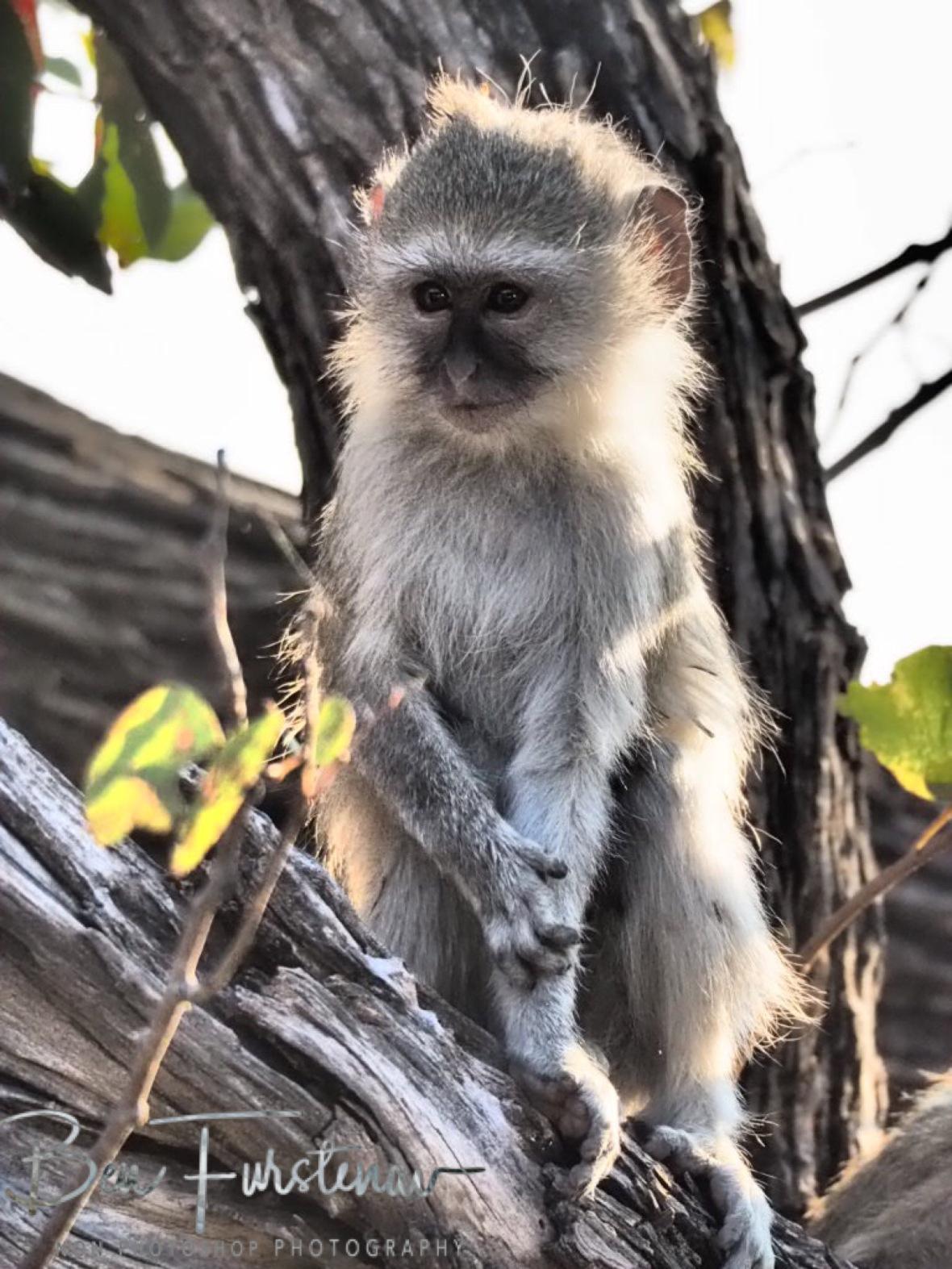 Almost human like, Moremi National Park, Okavango Delta, Botswana