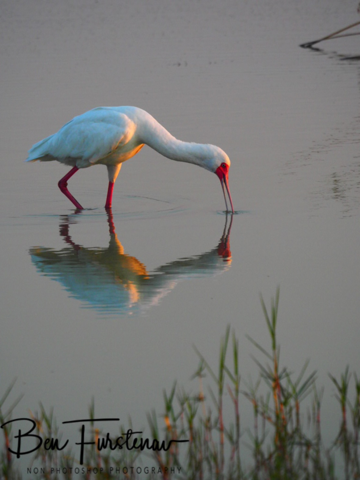 A spoonbill scouts the shallow waters, Moremi National Park, Okavango Delta, Botswana