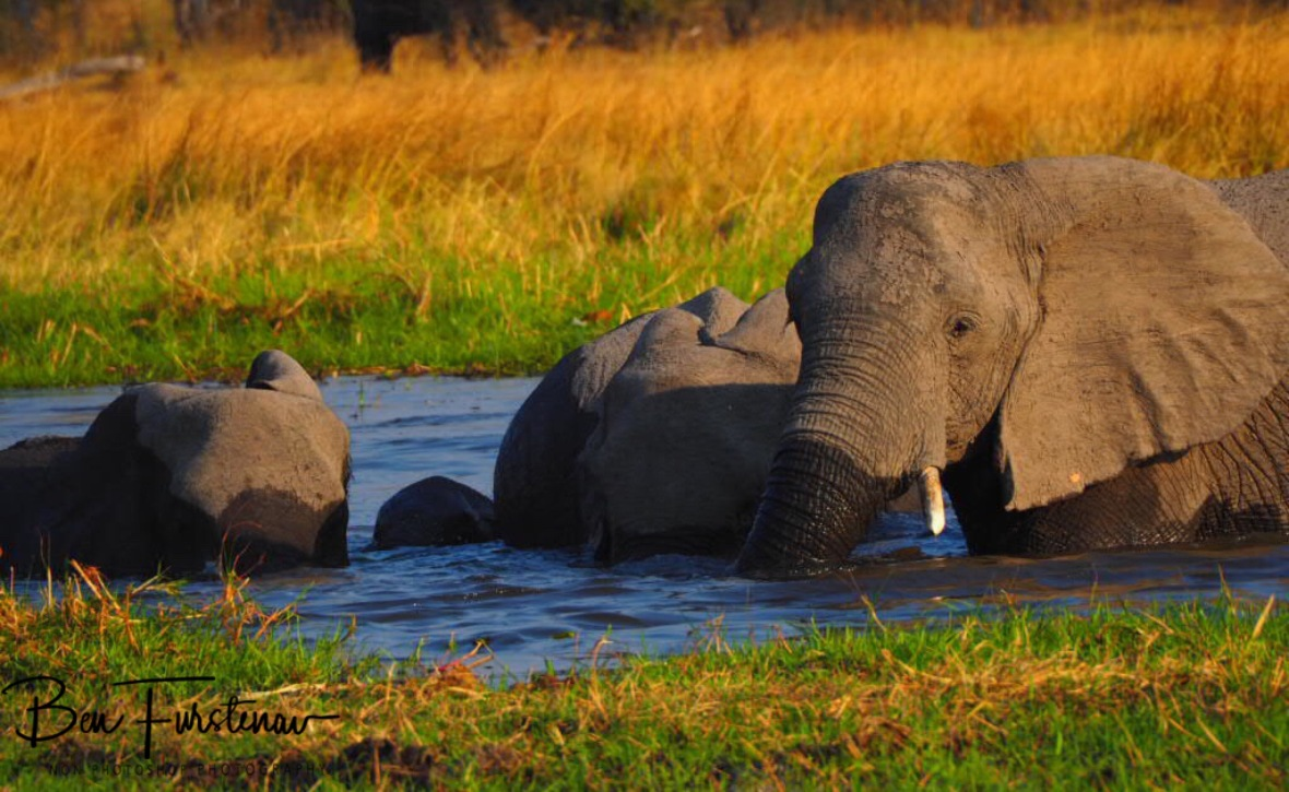 Swimming lessons, Moremi National Park, Botswana