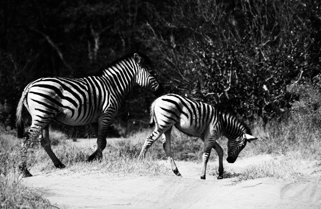 Classic zebra crossing practice with mum, Moremi National Park, Okavango Delta, Botswana