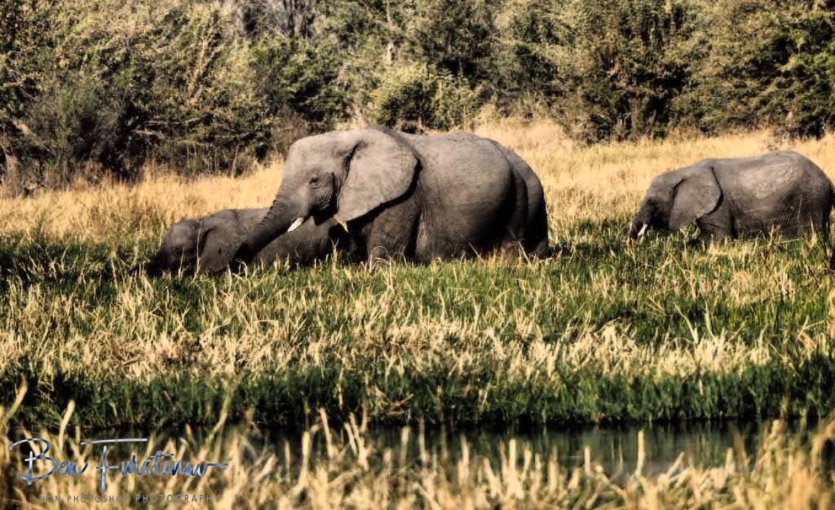Elephants travel long distance for this abundance of water and food, Moremi National Park, Botswana