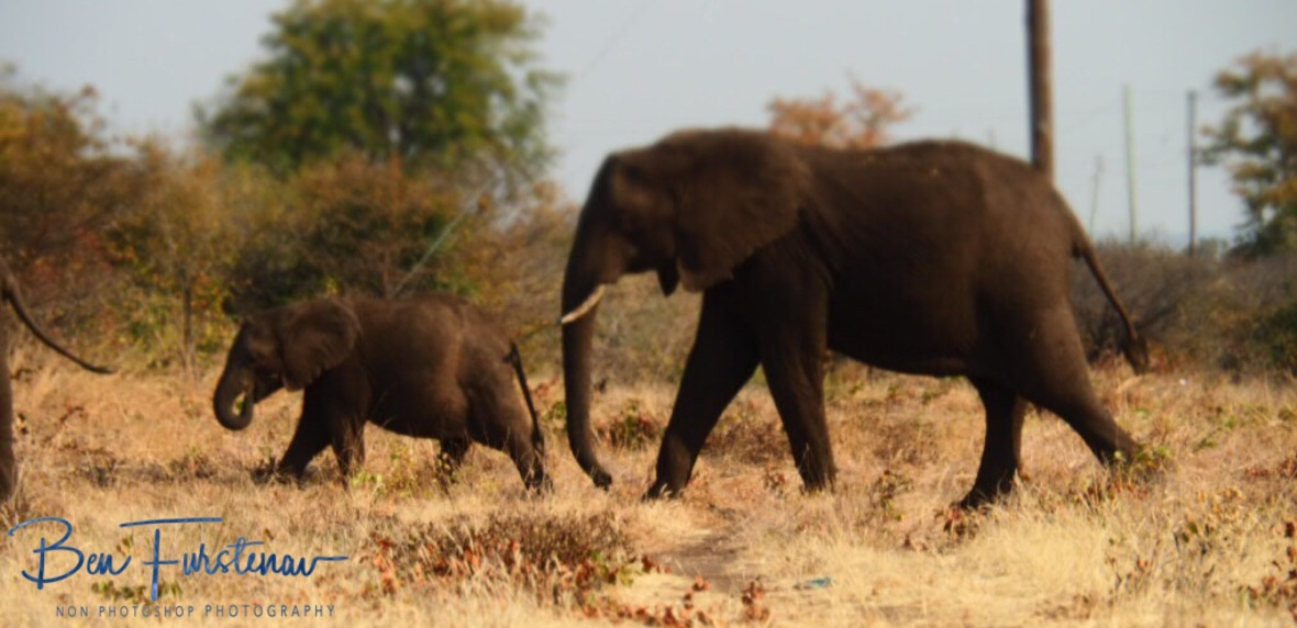 Mother and calf elephant, Livingstone, Zambia