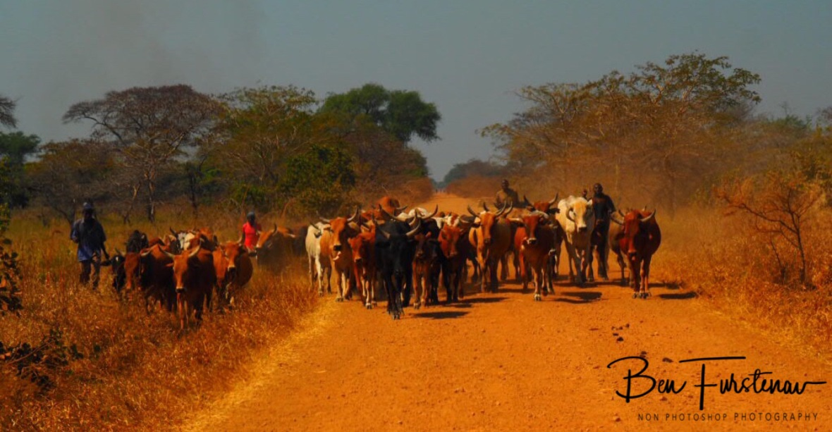 First herd left behind, Blue Lagoon National Park, Zambia