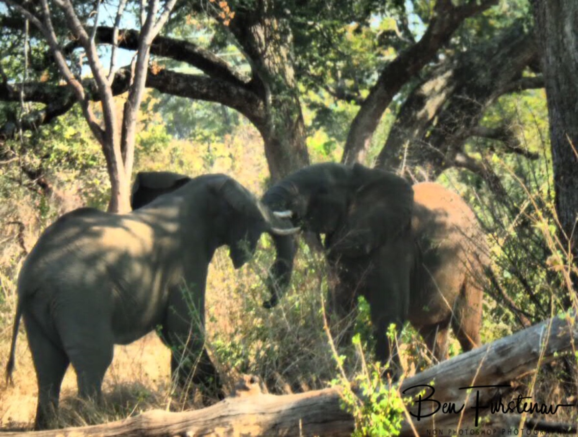 A play fight between young elephant bulls, Livingstone, Zambia