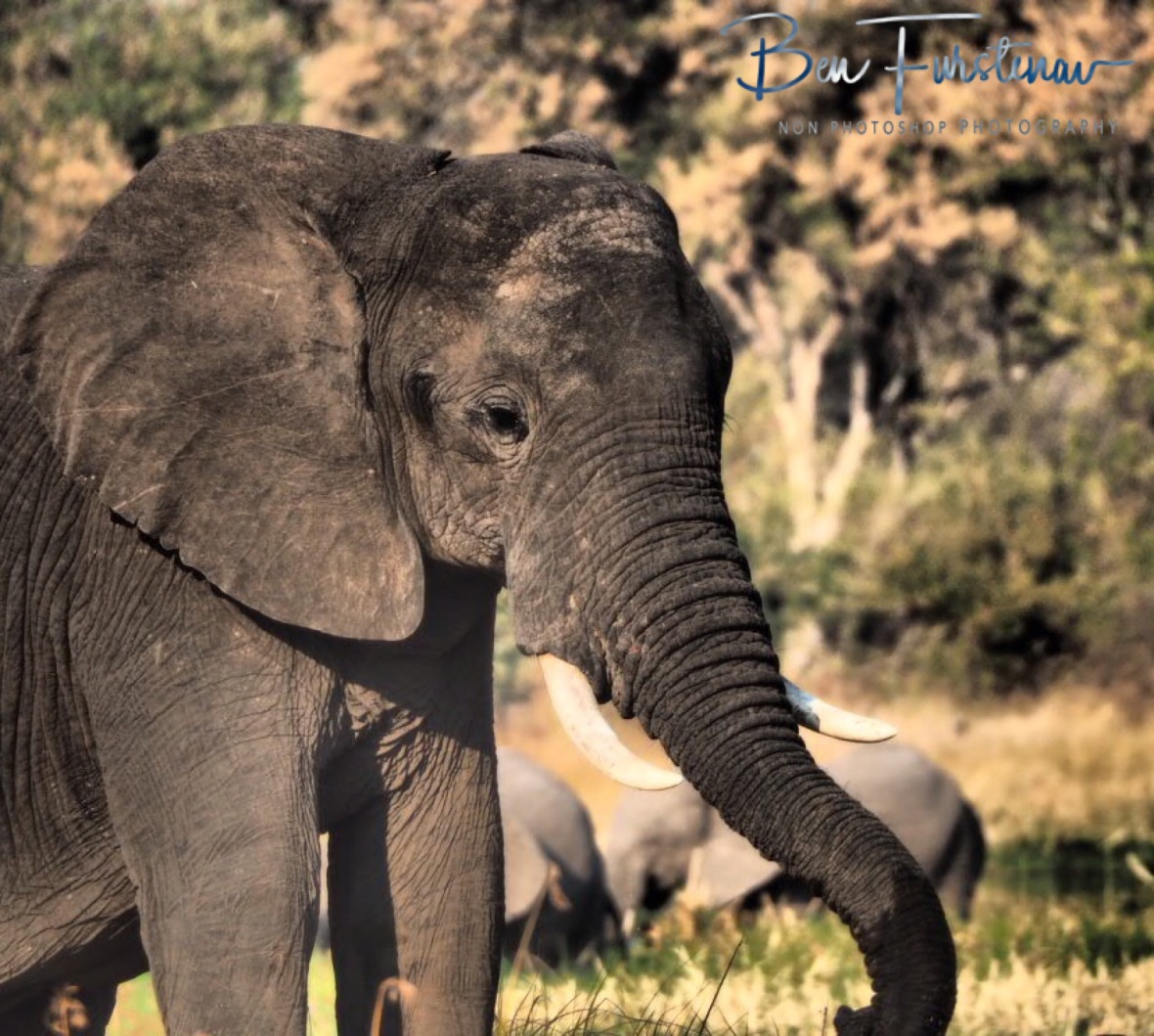 Surrounded by elephants, Moremi National Park, Botswana
