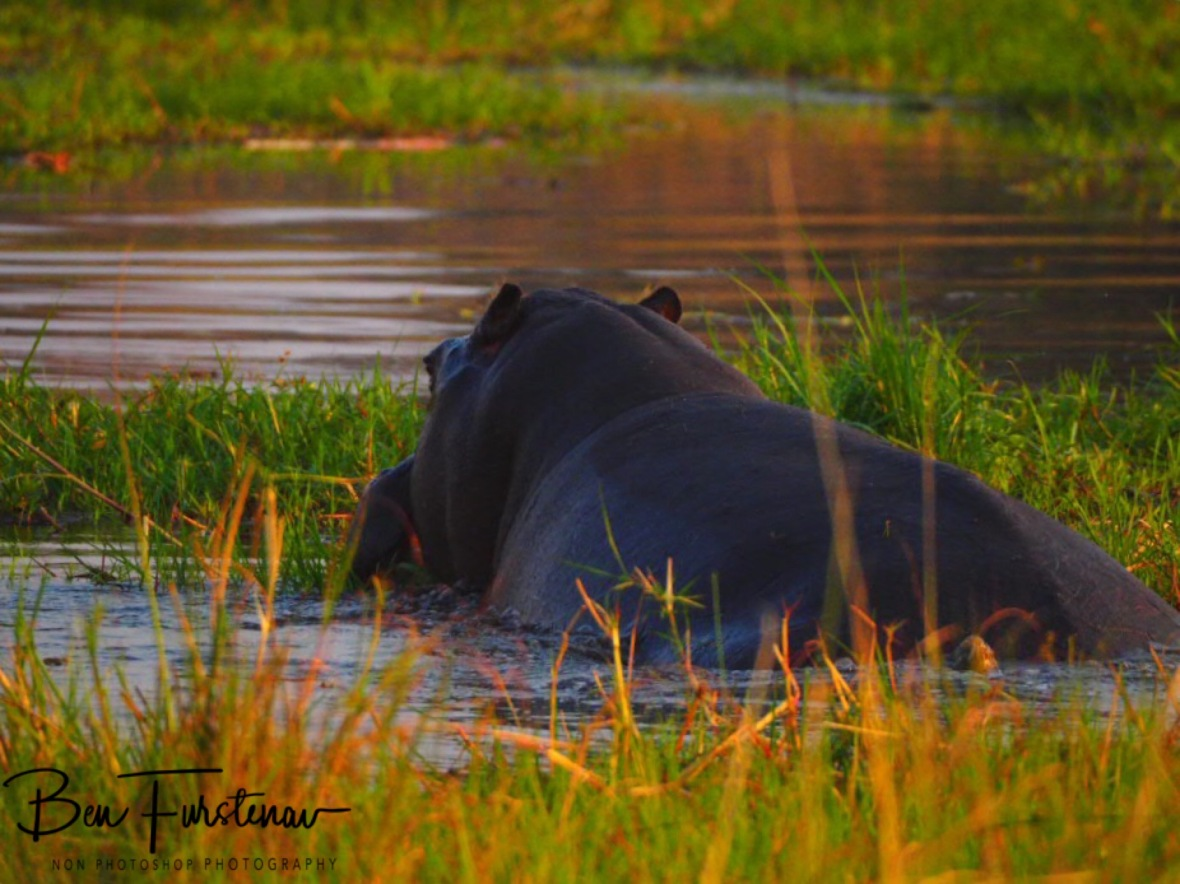 Hippos enjoy the grassy shores, Kwai Region, Okavango Delta, Botswana