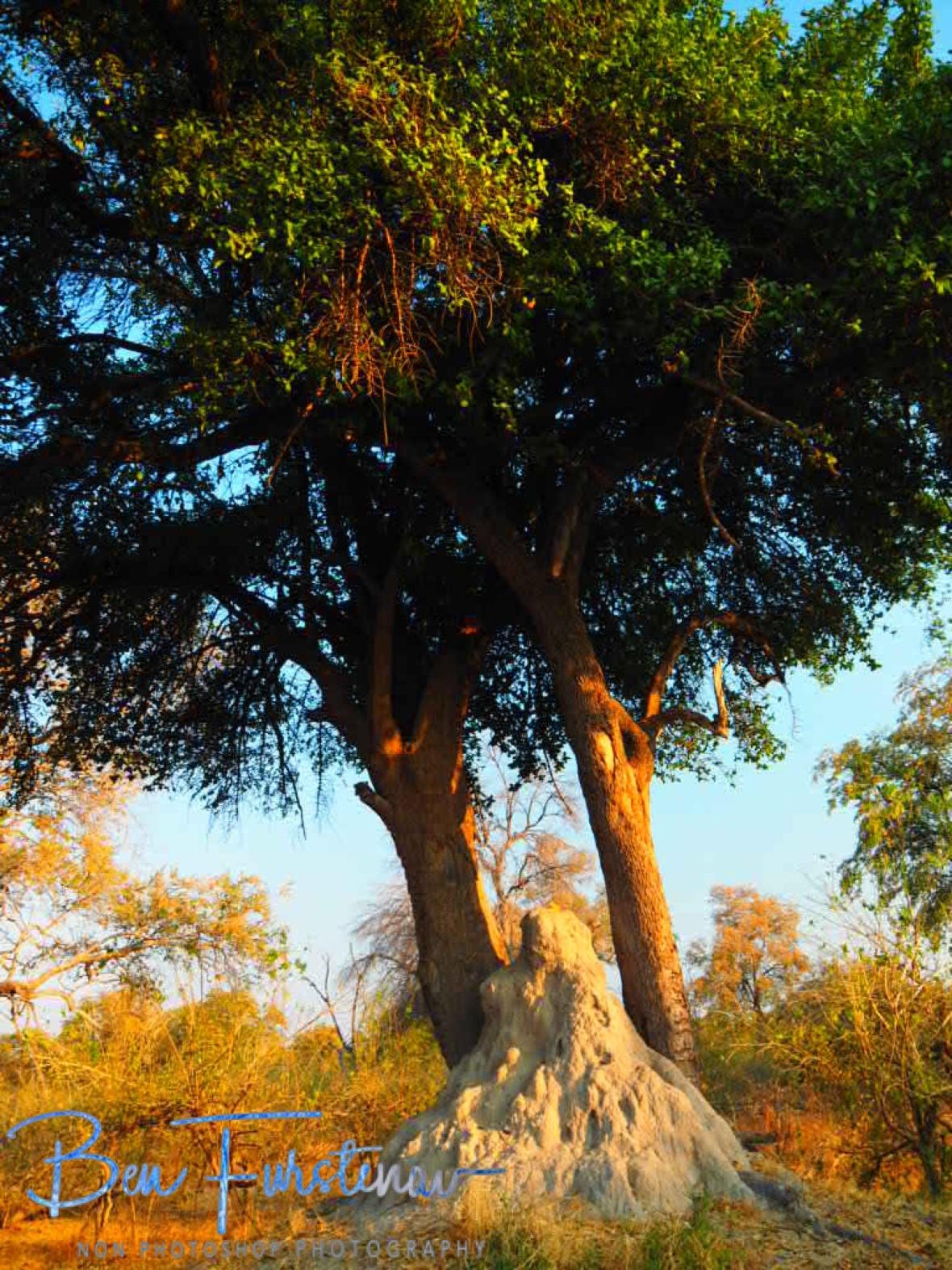 Termite occupied trees, Okavango Delta, Chobe National Park, Botswana
