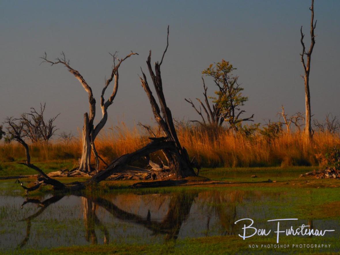 Dead trees bizarre reflections at paradise pools, Moremi National Park, Okavango Delta, Botswana