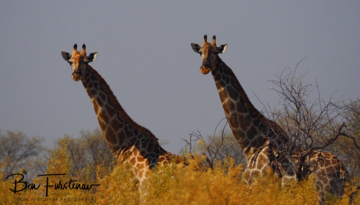 Double vision, Moremi National Park, Botswana