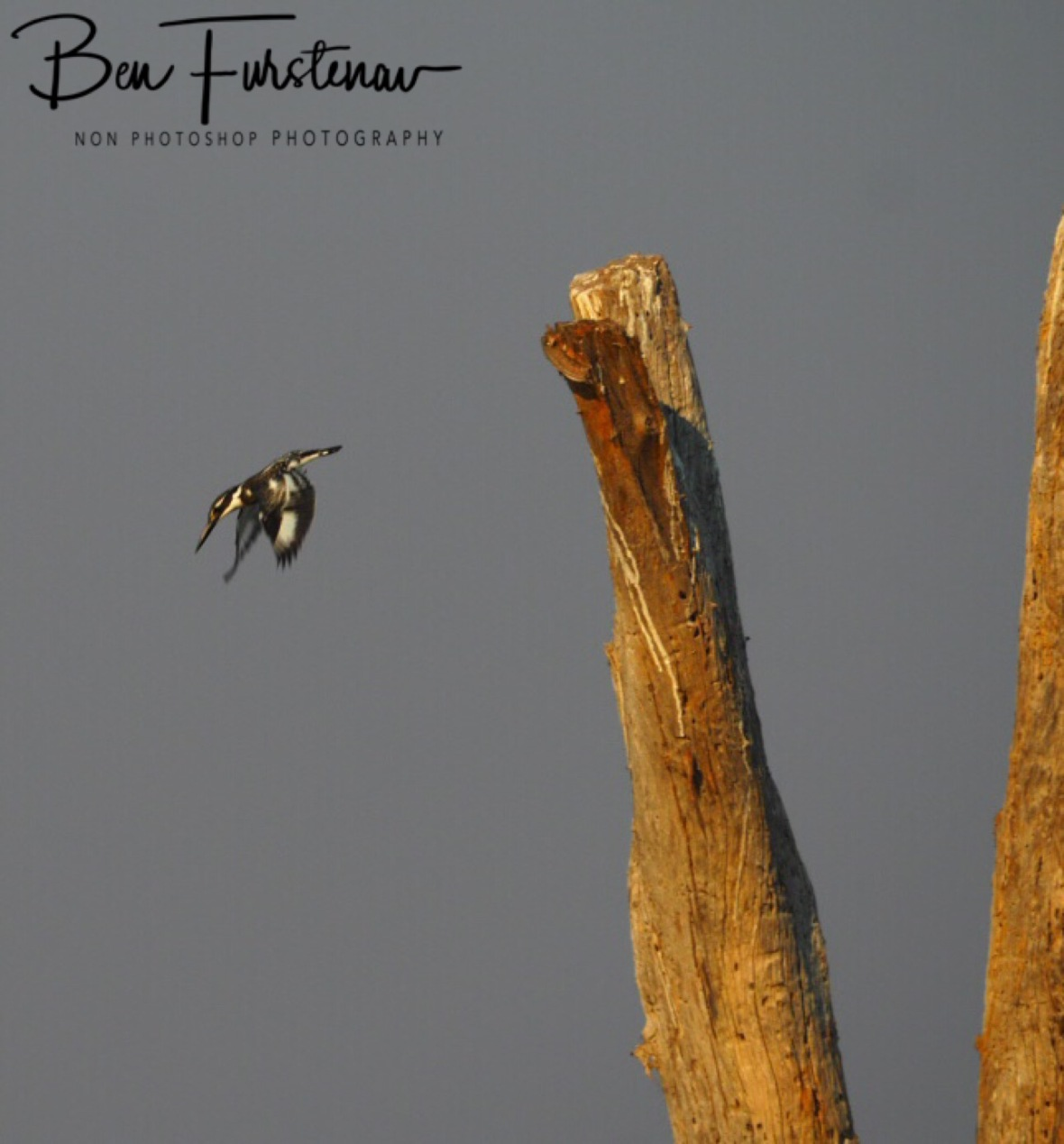 Full flight, Kafue National Park, Zambia
