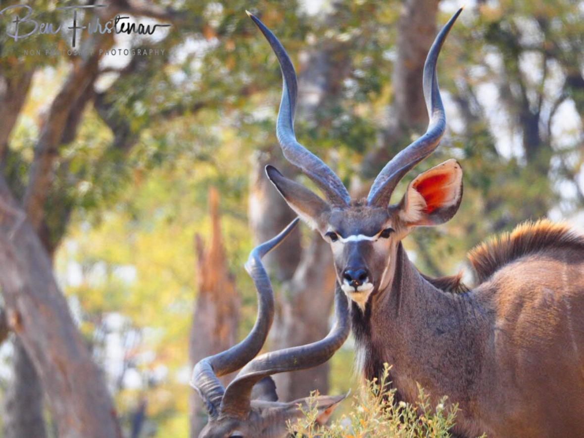 Kudu double antlers, Moremi National Park, Okavango Delta, Botswana