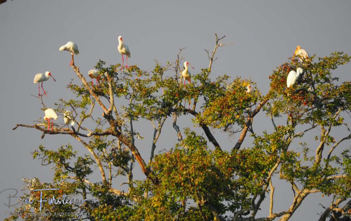 Spoonbill resting tree, Kafue National Park, Zambia