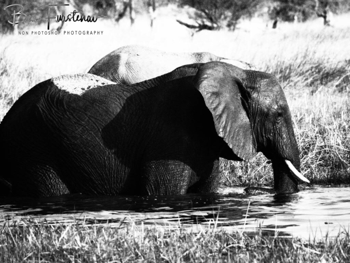 Literally black and white, Moremi National Park, Botswana