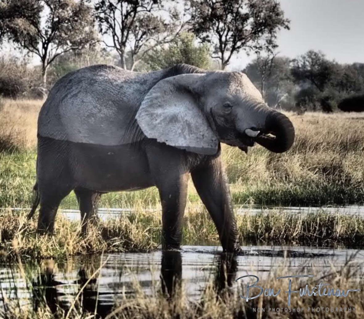 Tuxedo, Moremi National Park, Botswana