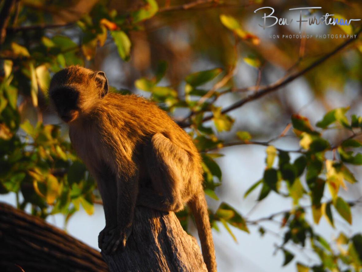 Monkey outpost, Moremi National Park, Okavango Delta, Botswana