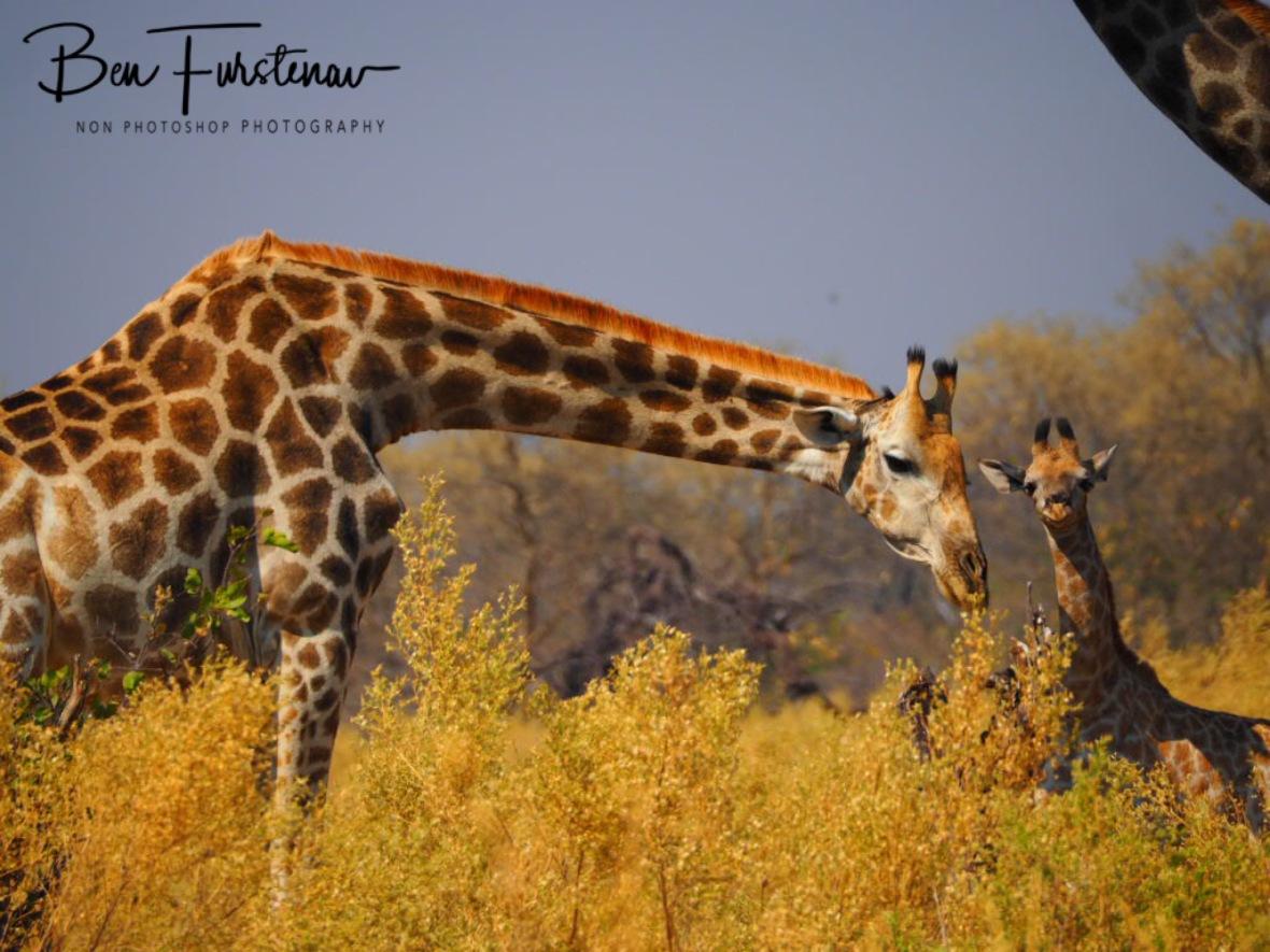 Oh look, a zebra!, Moremi National Park, Botswana