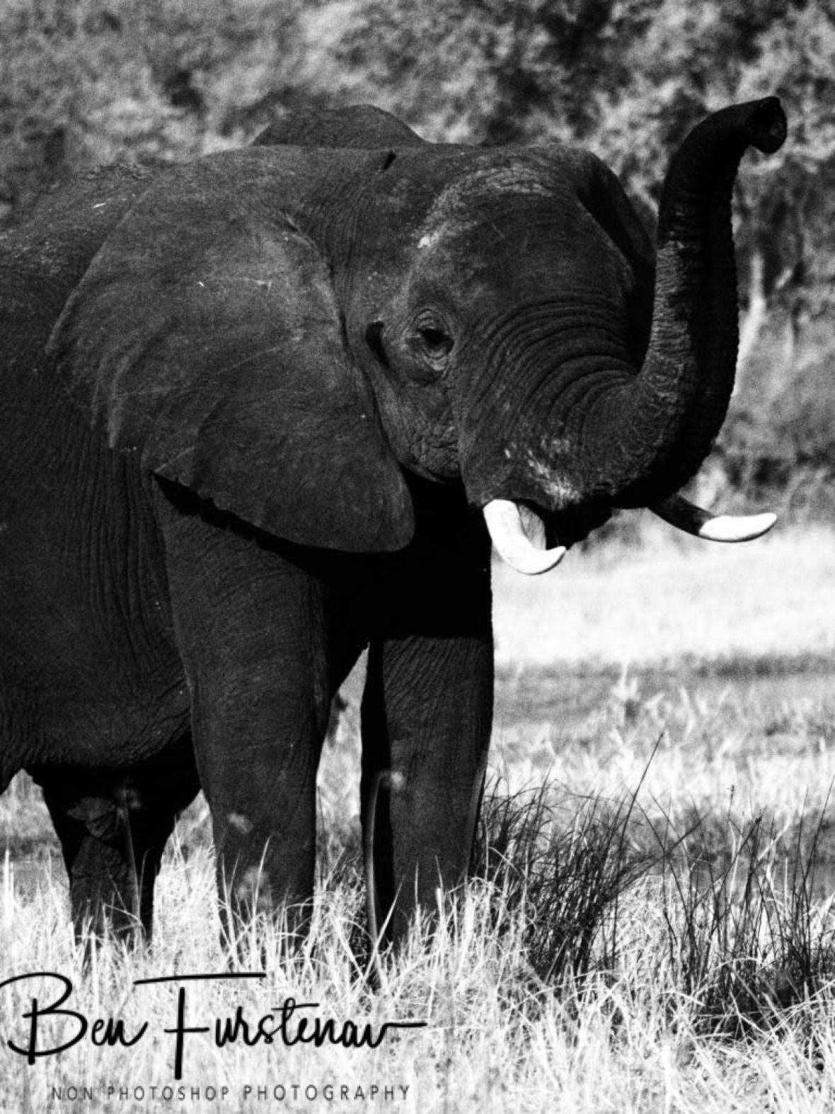 Black African elephant, Moremi National Park, Botswana