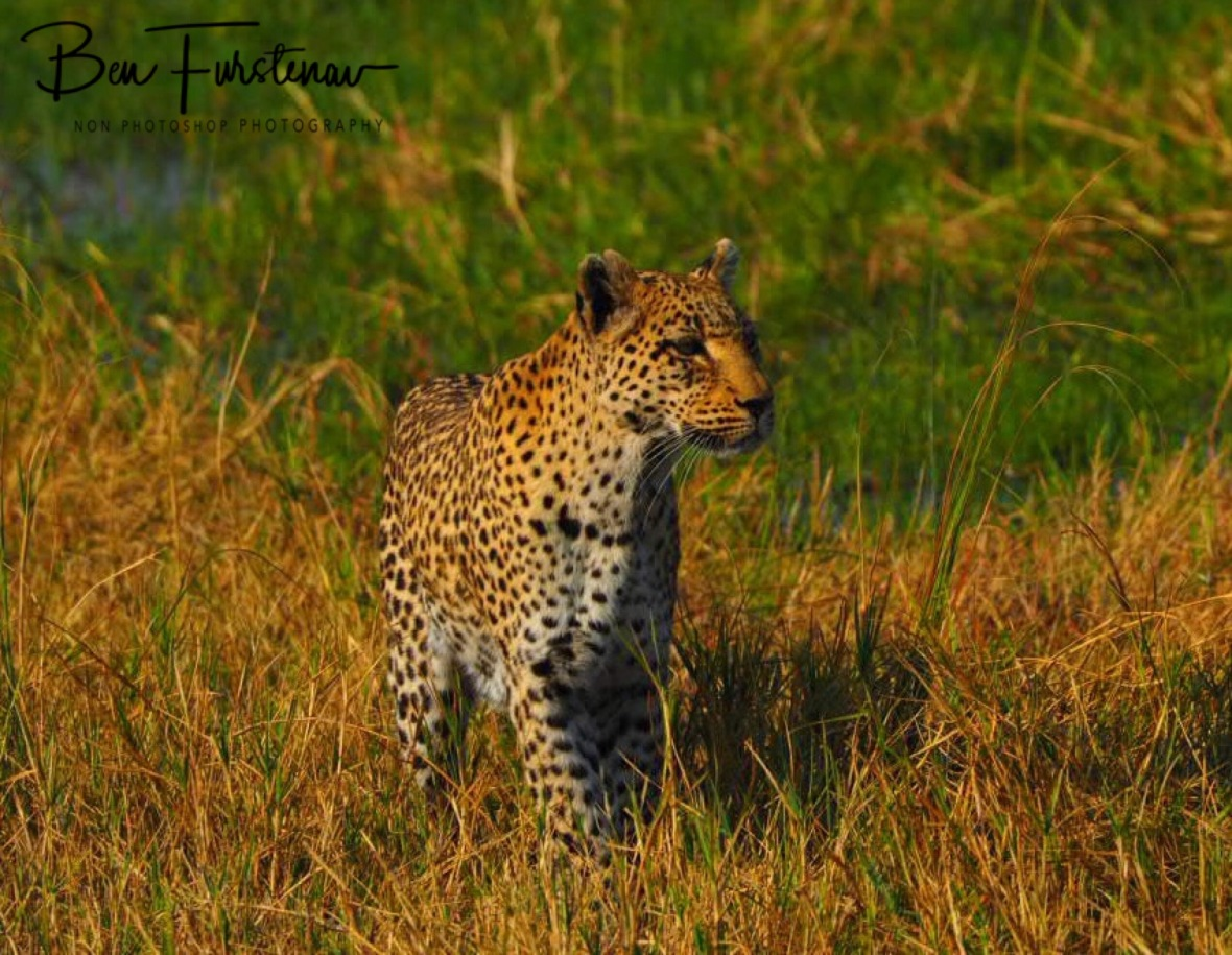 Some movement in the high grass?, Moremi National Park, Botswana