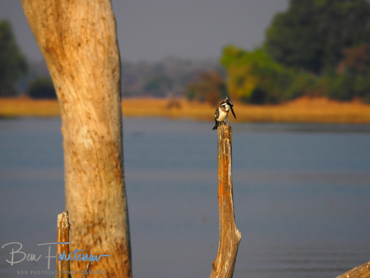Kingfisher on the lookout, Kafue National Park