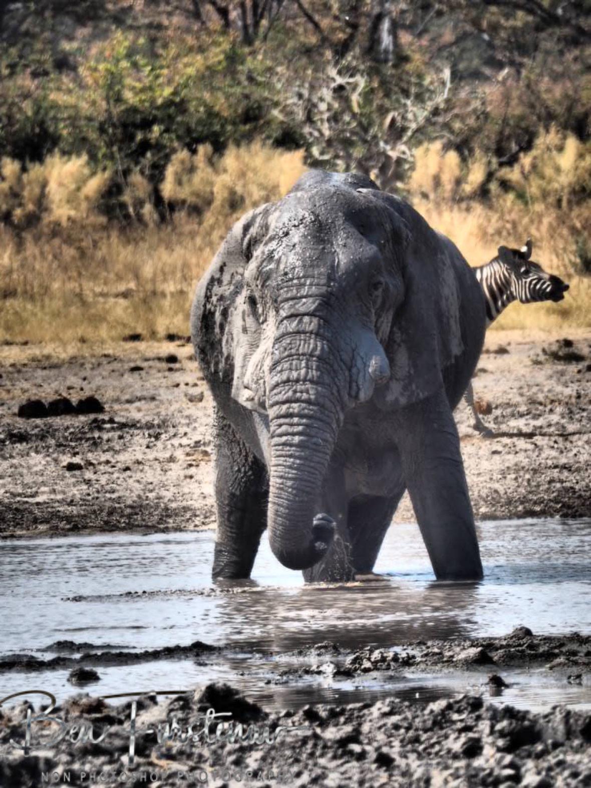 Shaky balance, Moremi National Park, Botswana