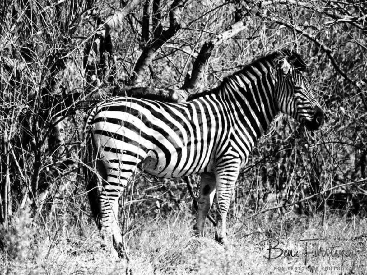 Zebra in disguise, Moremi National Park, Botswana