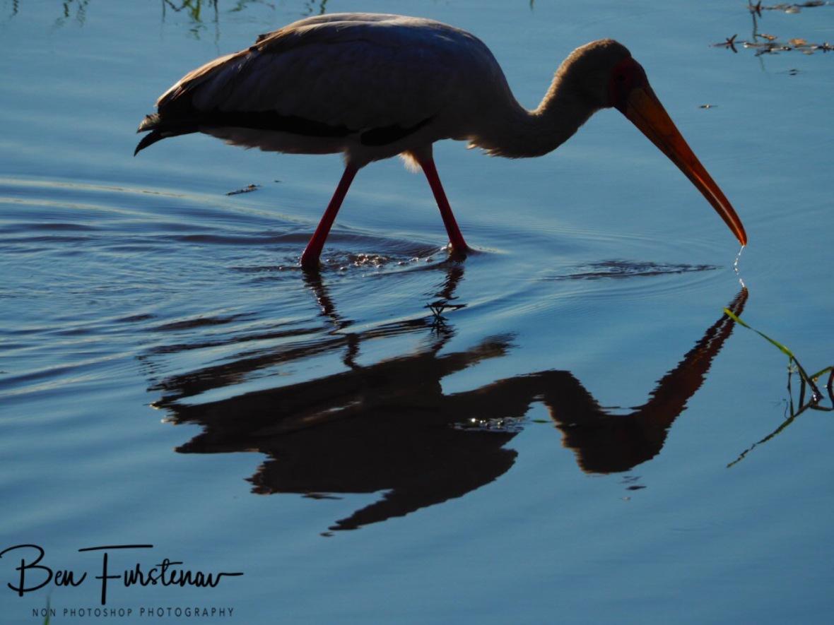 Yellow Billrd Stork reflections, Chobe National Park, Botswana