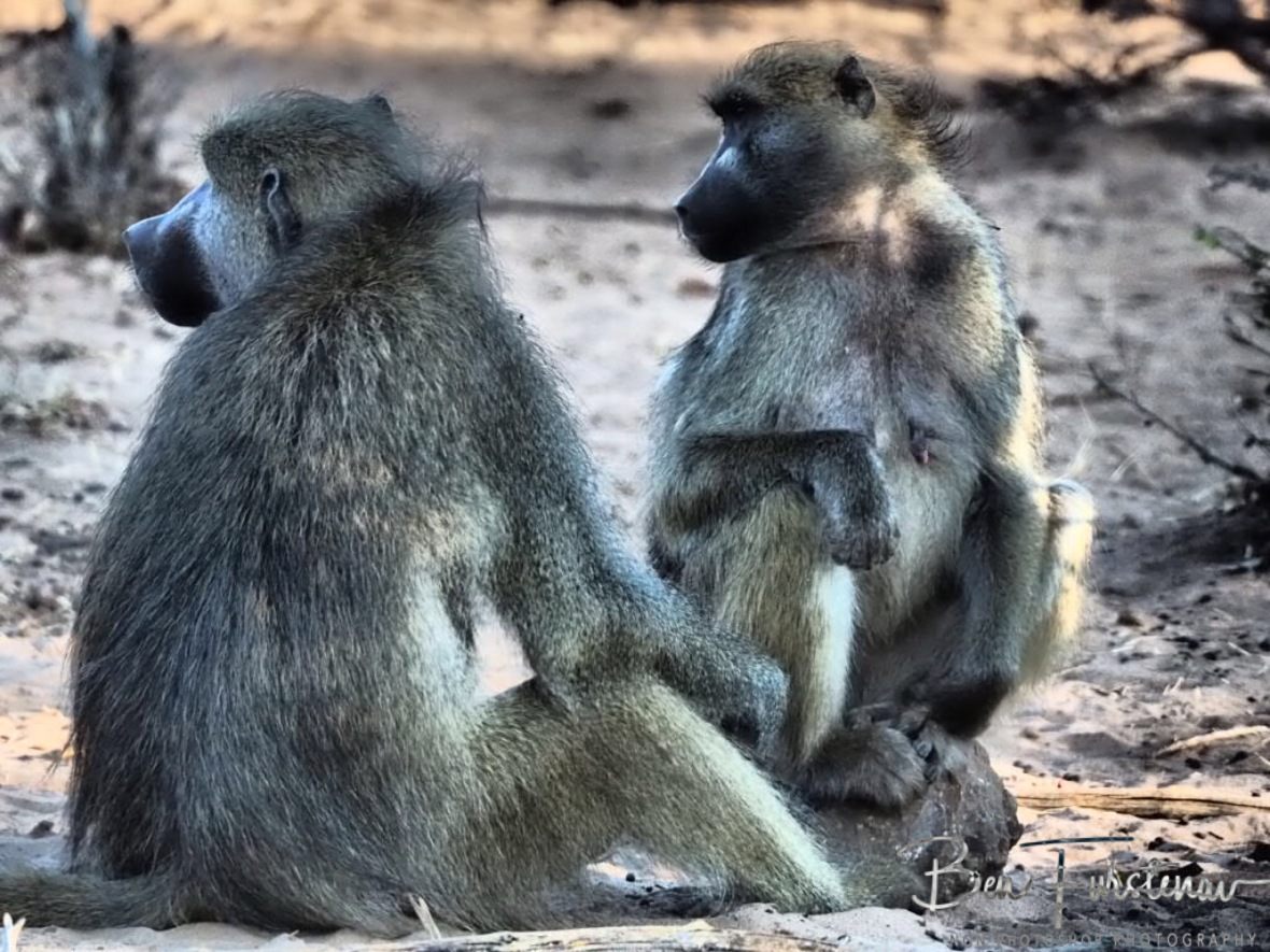 Too hot for Monkeys, Chobe National Park, Botswana