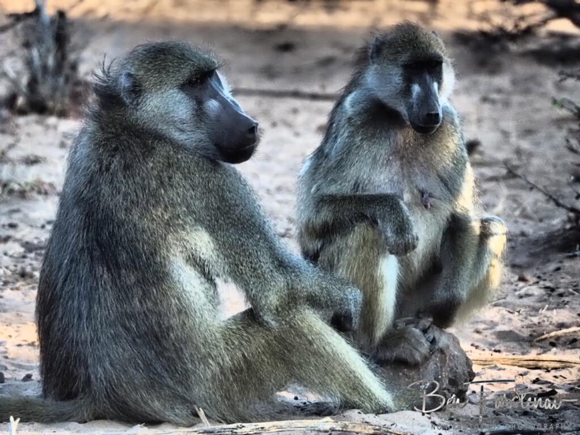 To hot for business, Chobe National Park, Botswana