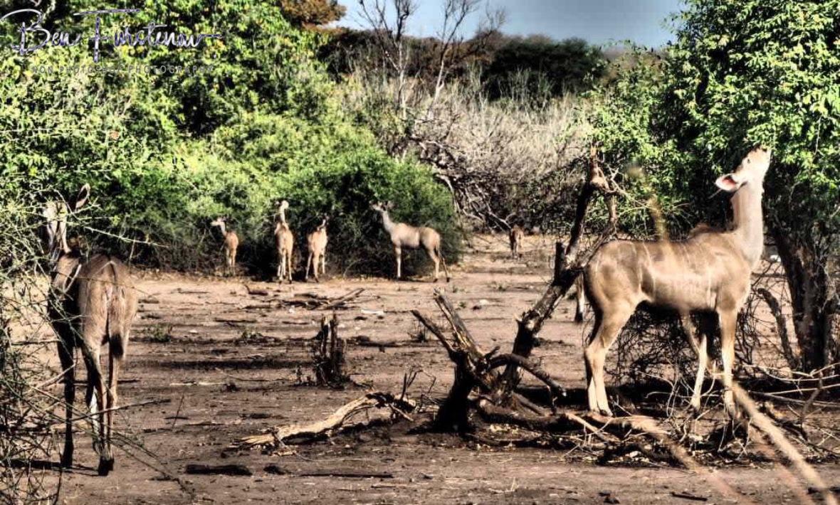 Casual Kudus, Chobe National Park, Botswana