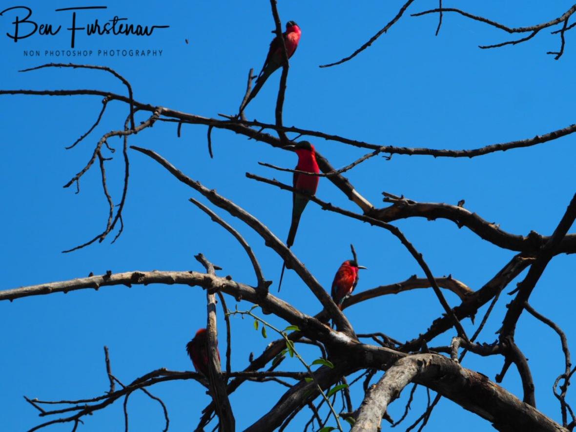 A group of Sunbirds, Chobe National Park, Botswana