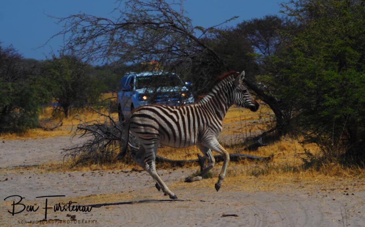 Scared fowl, Makgadikgadi National Park, Botswana