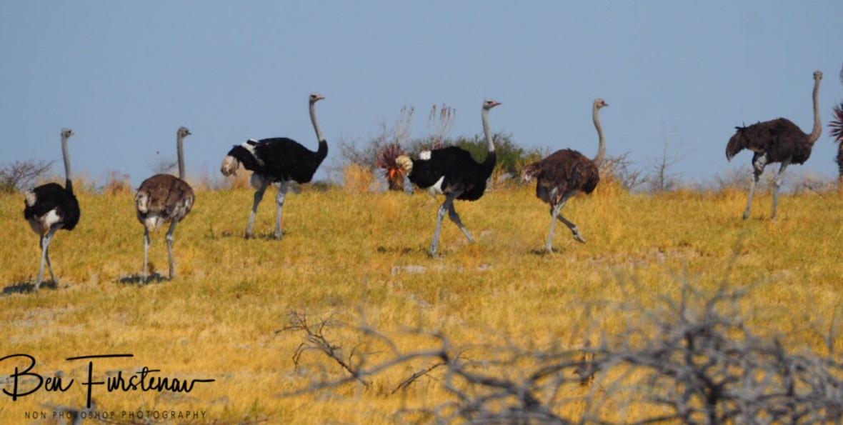 Ostrich caravan, Makgadikgadi Salt Pans, Botswana