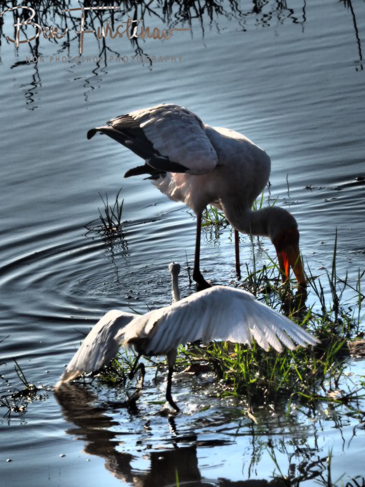 An Egret rushing to the scene, Chobe National Park, Botswana
